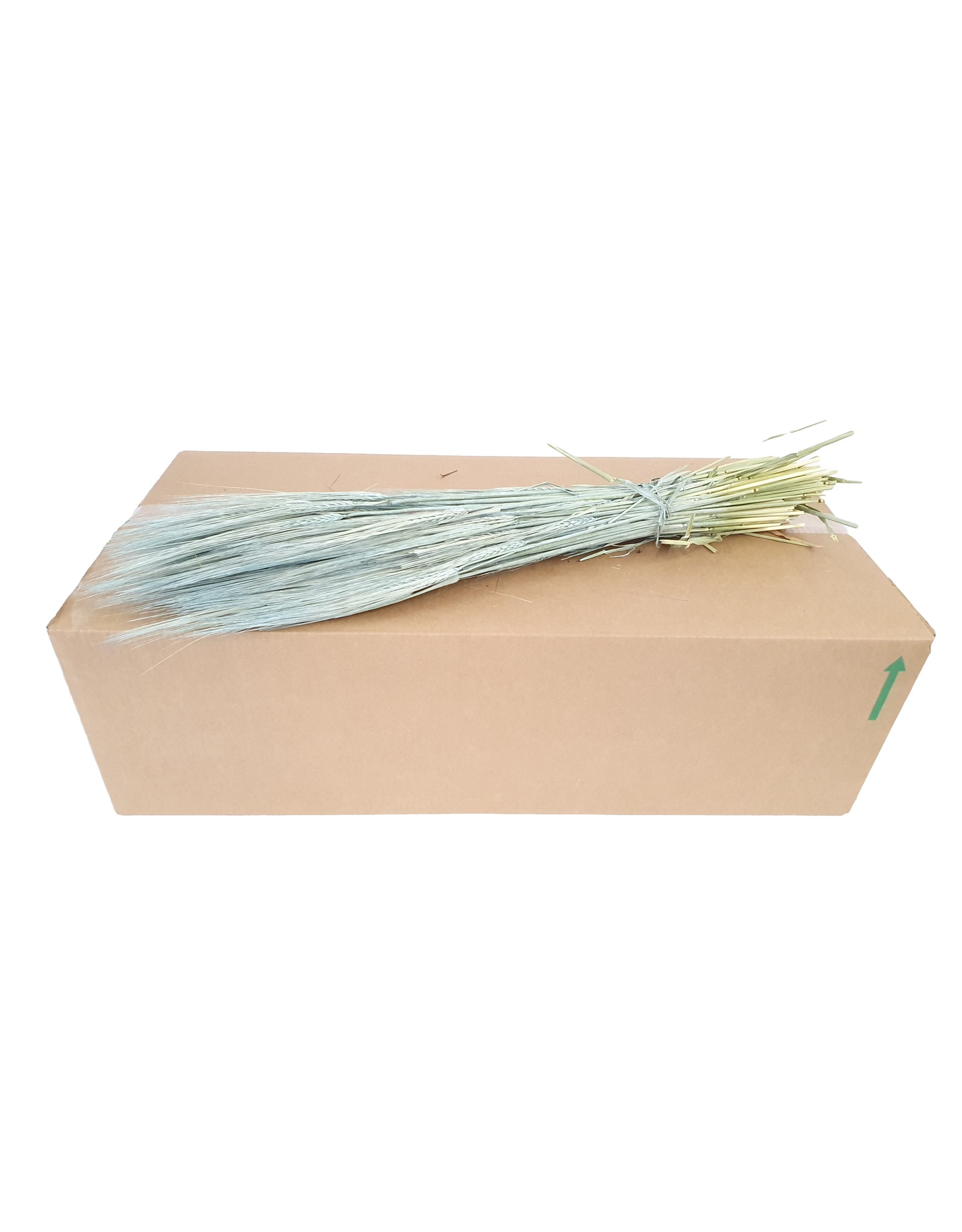 Hordeum per bunch Frosted Light Blue x 25