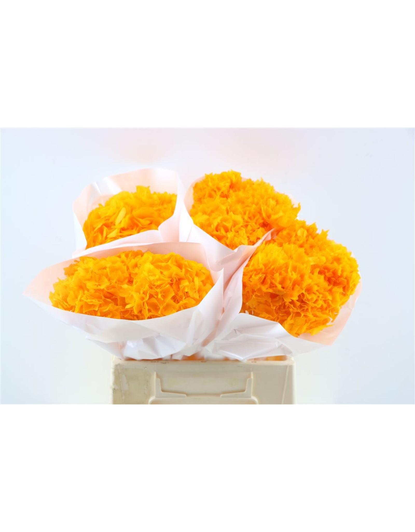 Dried Hydrangea Apricot Pro Bunch x 1