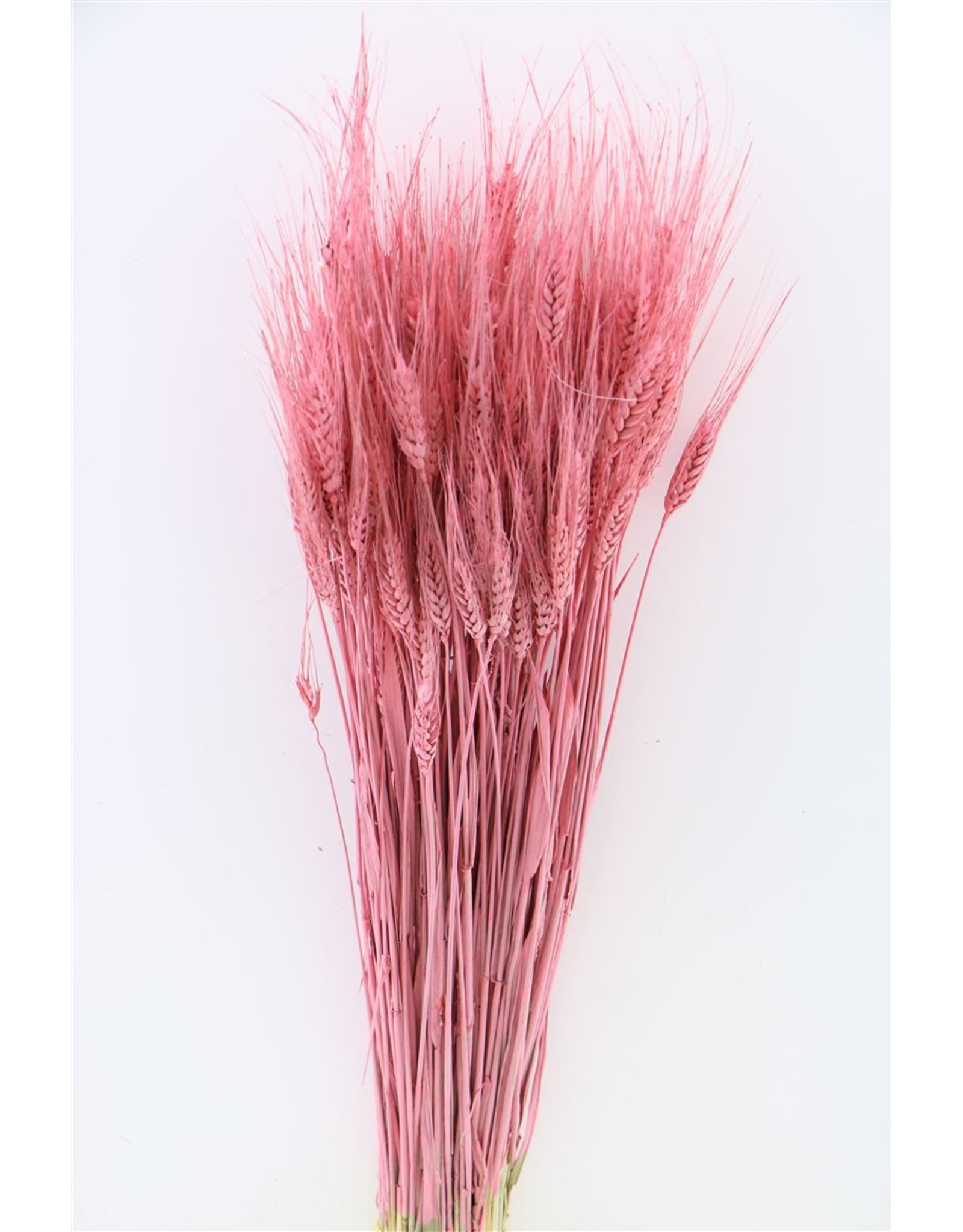 Dried Triticale Pink Bunch x 2
