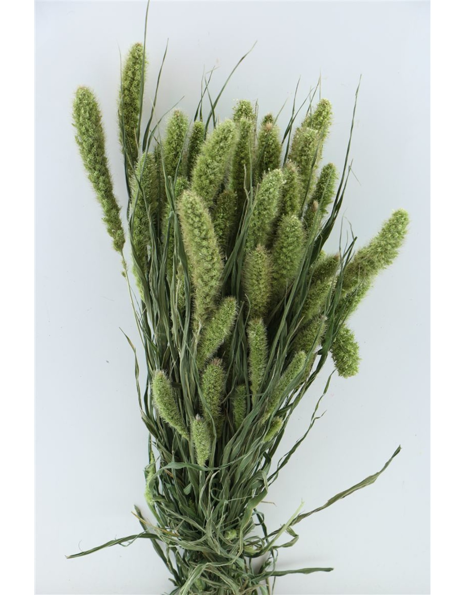 Dried Setaria Natural Bunch x 3