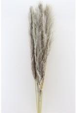 Dried Cortaderia Naturel 140cm Extra x 10