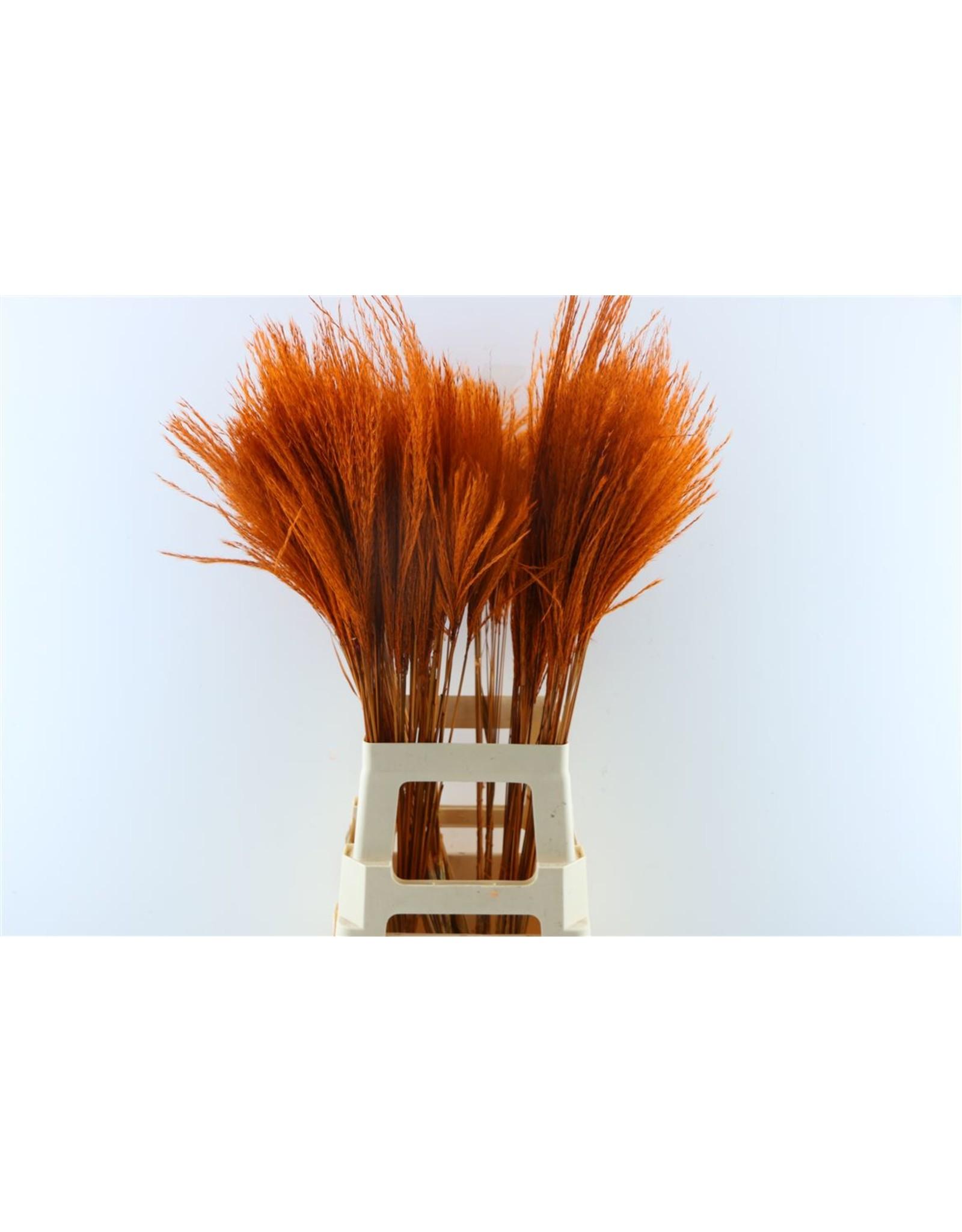 Dried Stipa Feather Oranje P. Stem x 50
