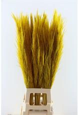 Dried Cortaderia 100cm Geel P. Stem x 10