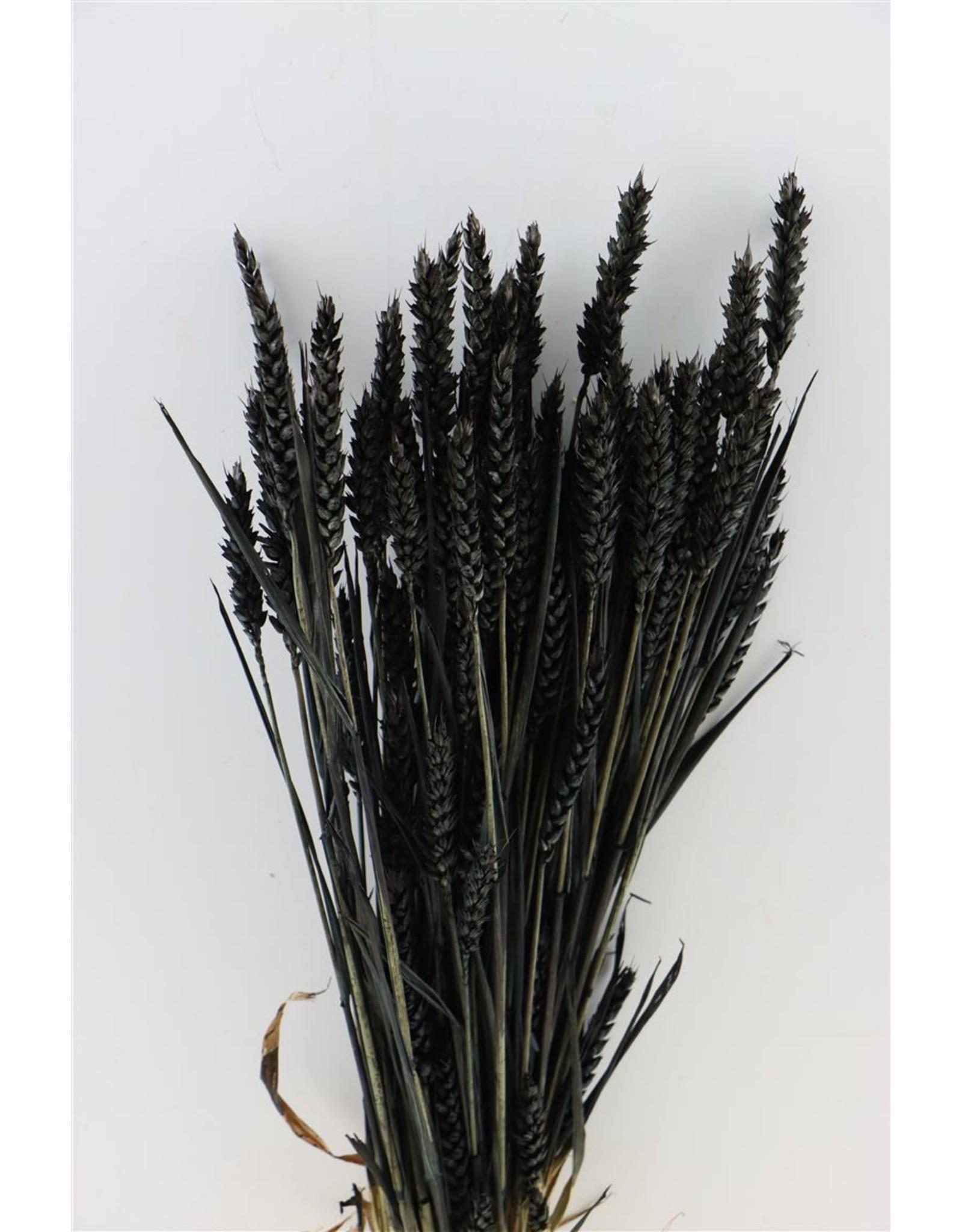 Dried Triticum Black Bunch x 2