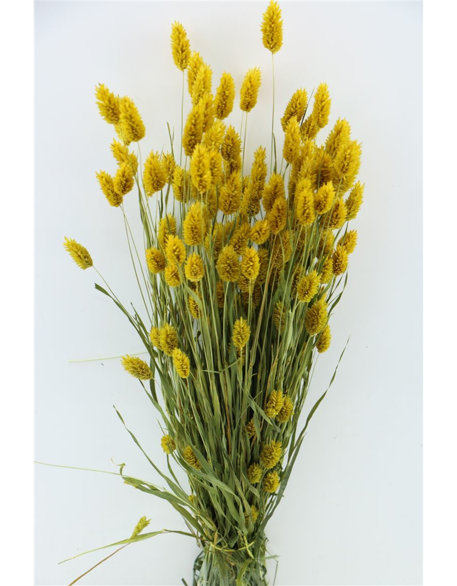 Dried Phalaris Yellow Bunch x 2