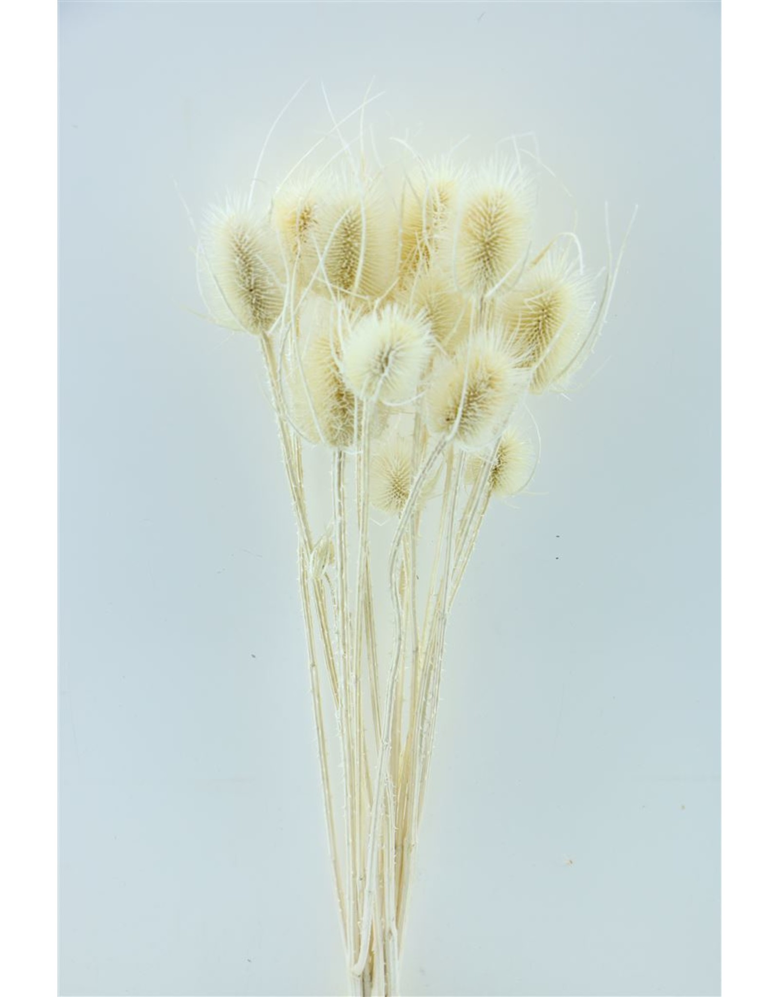 Dried Thistle Bleached Bunch x 15
