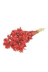 Bidens (carthamus) SB red red glitter x 3