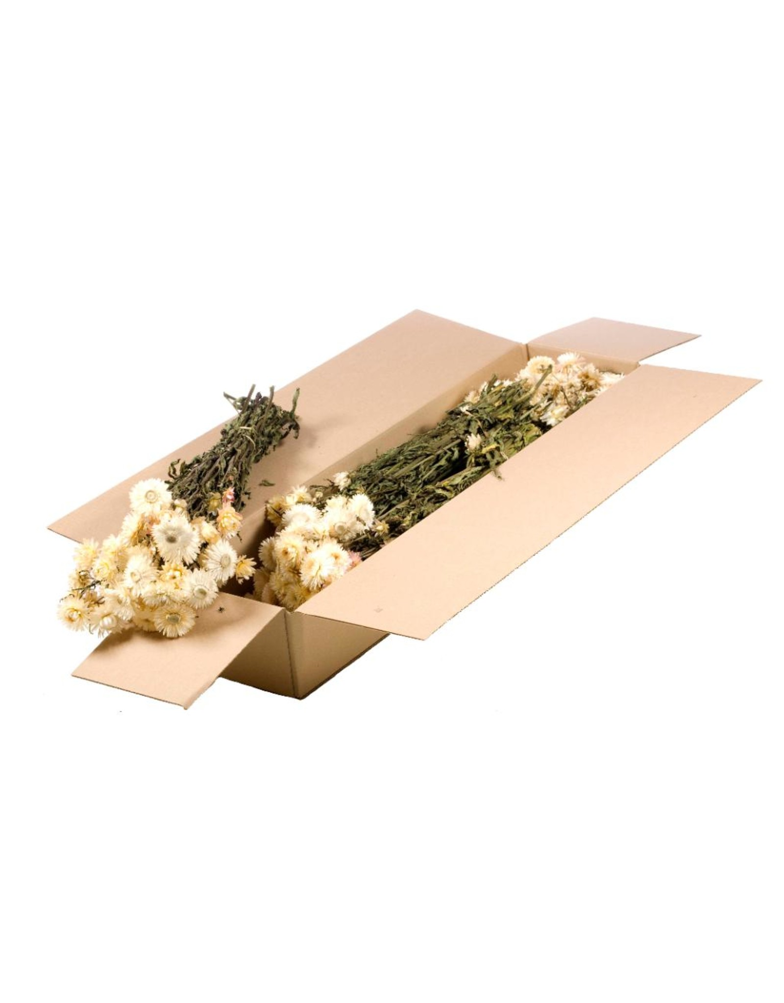 Helichrysum SB natural white x 5