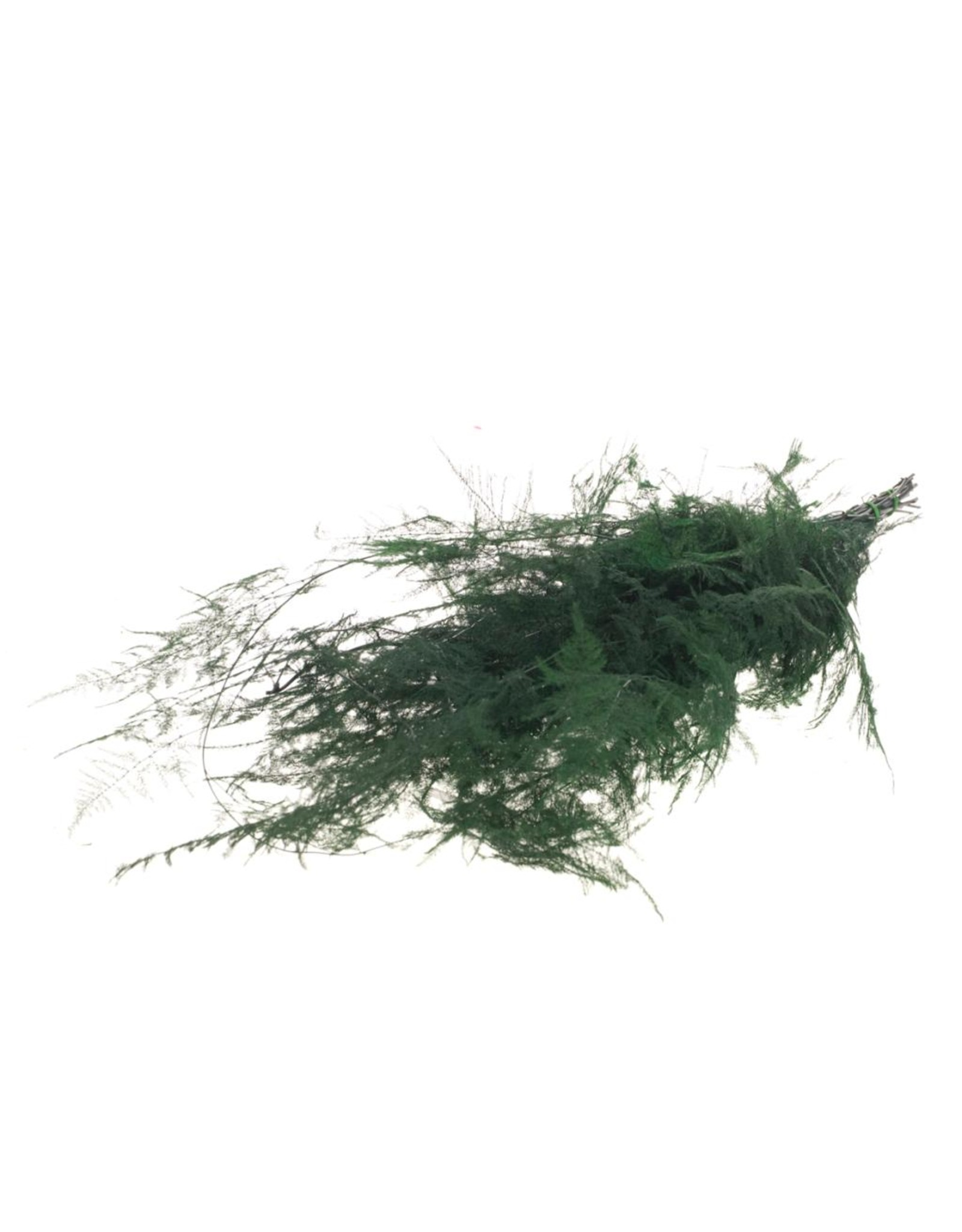 Asparagus preserved moss green x 15