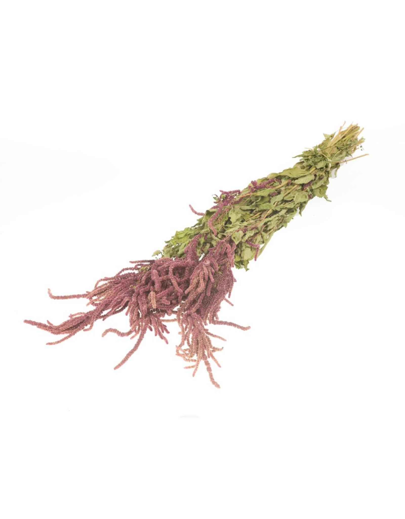 Amaranthus caudatus natural red x 15
