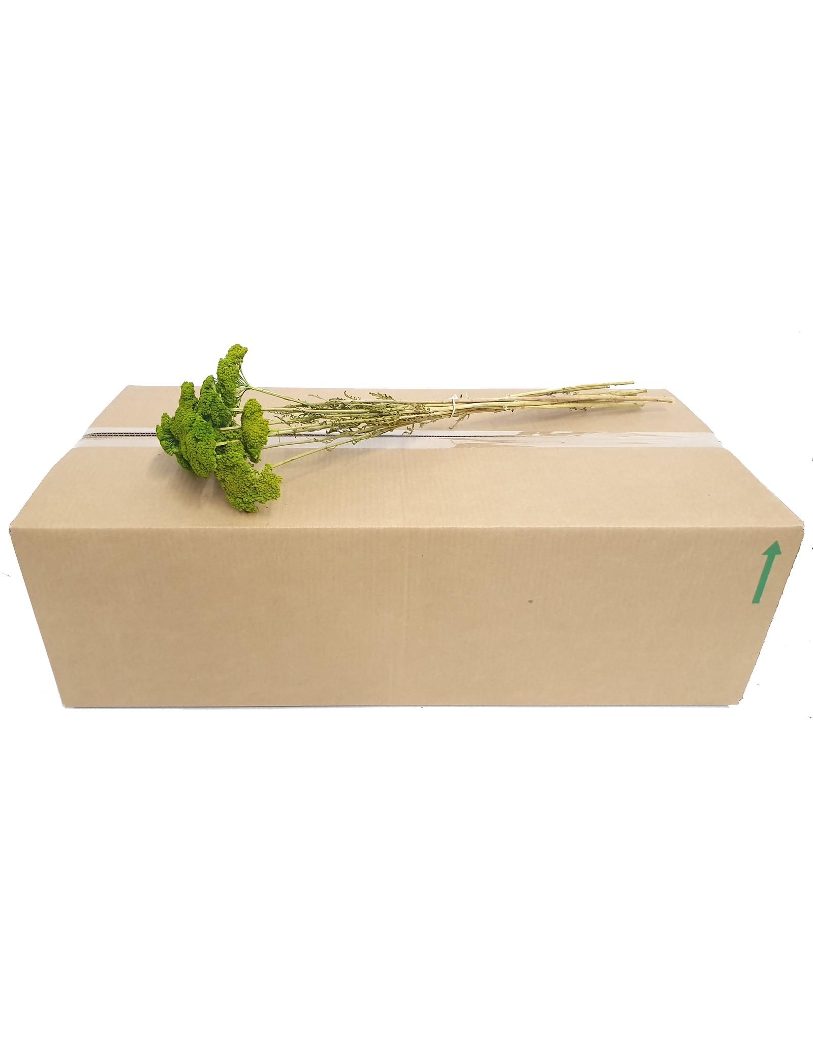 Achillea per stem Light Green x 200