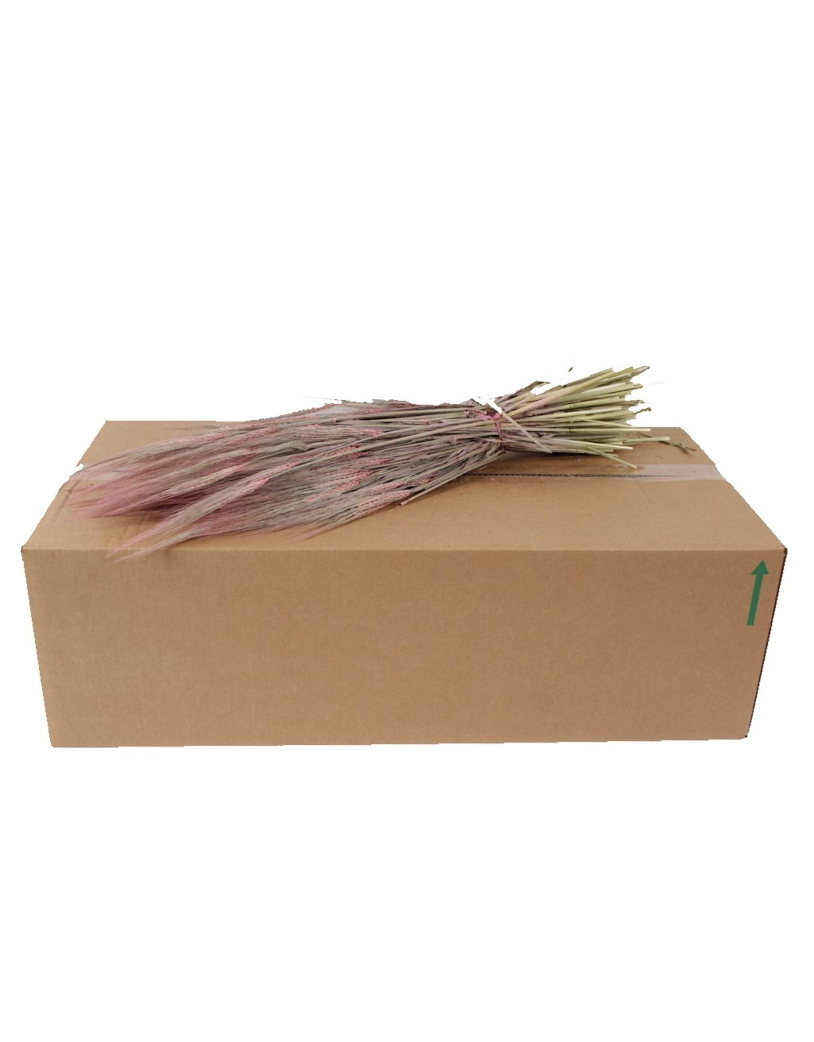 Hordeum per bunch Frosted Pink x 25