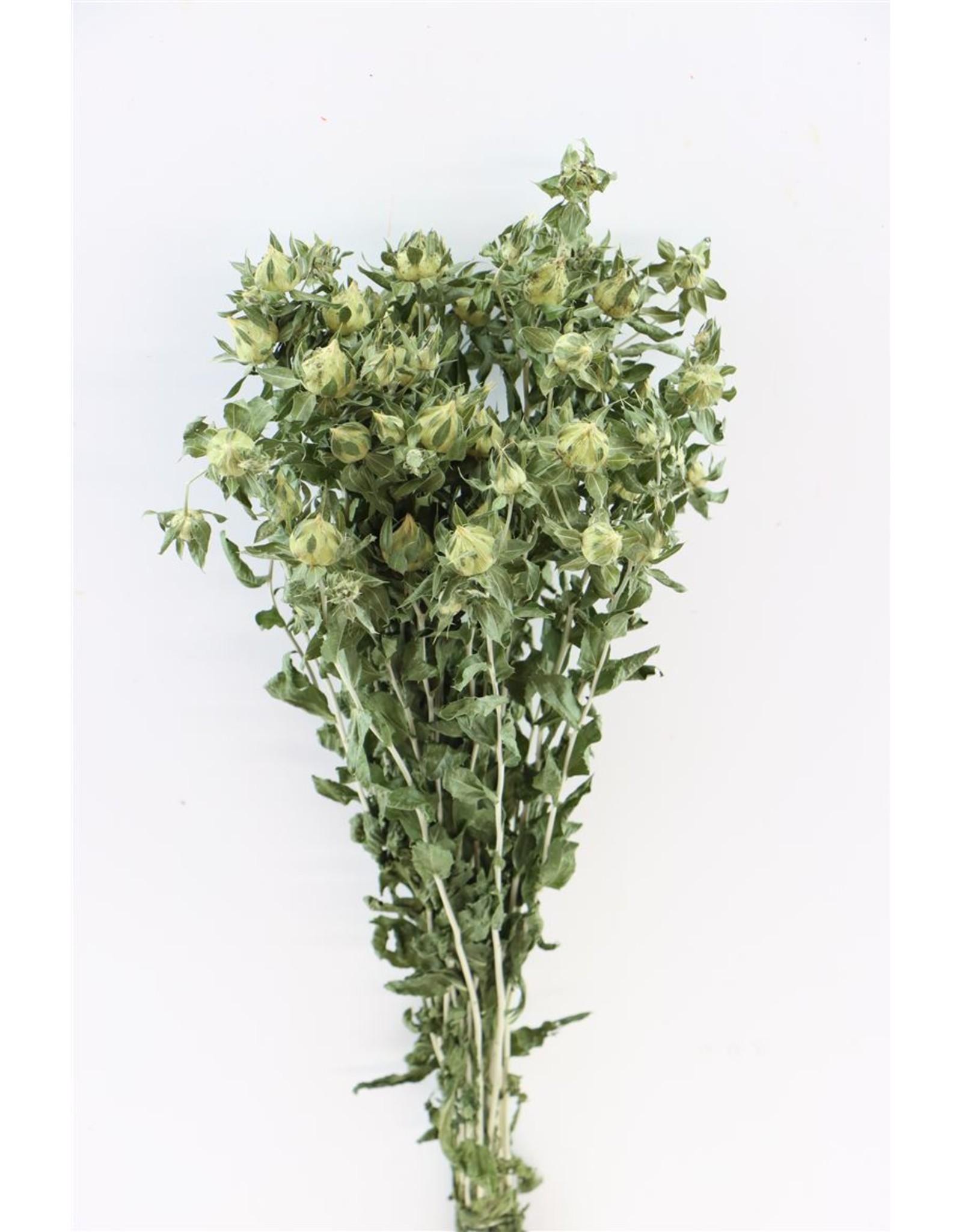 Dried Carthamus Green Bunch x 5