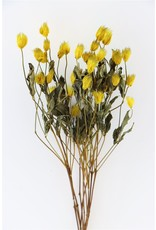 Dried Clematis Kibo Seed Yellow Bunch x 5
