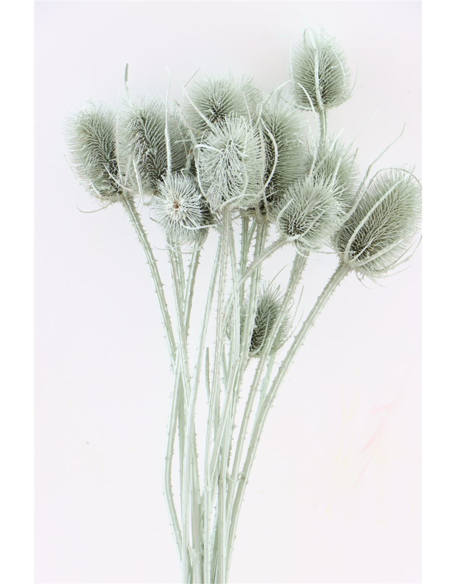 Dried Thistle L. Green Bunch x 2
