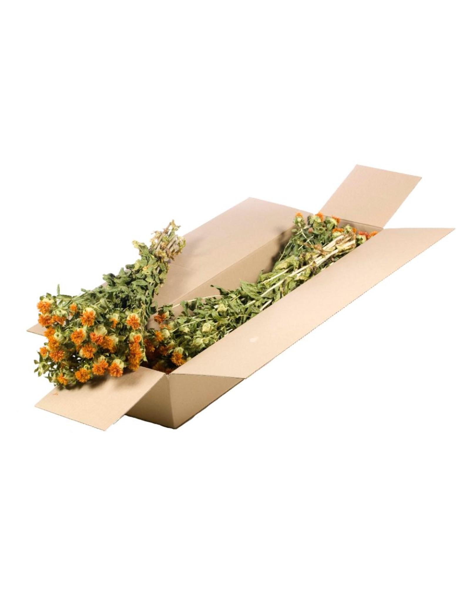 Bidens (carthamus) SB natural orange x 3