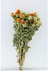 Dried Carthamus Orange Bunch x 2