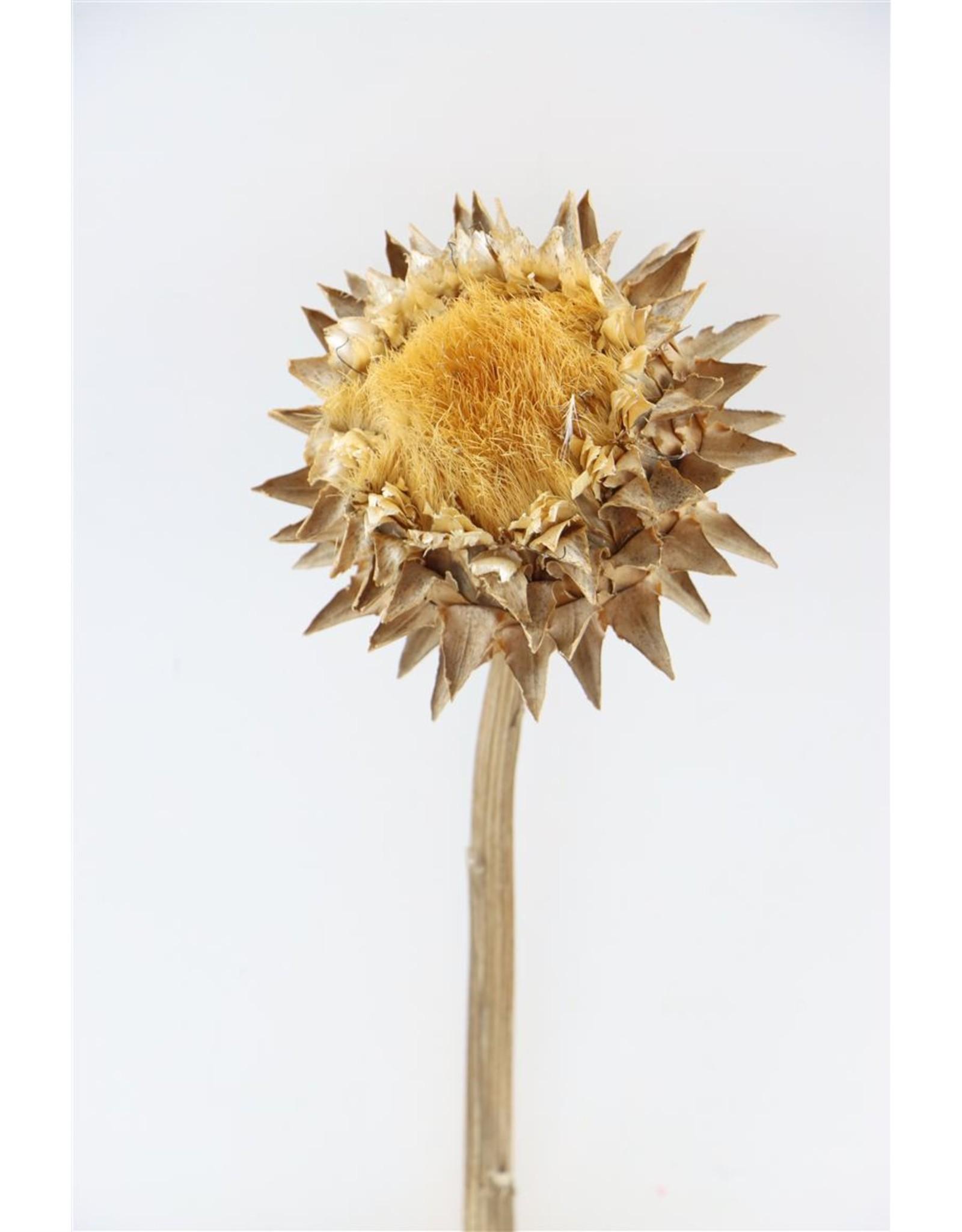 Dried Cynara Natural Stem x 5