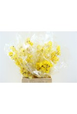 Dried Bougainvillea 45cm Yellow Bunch x 5