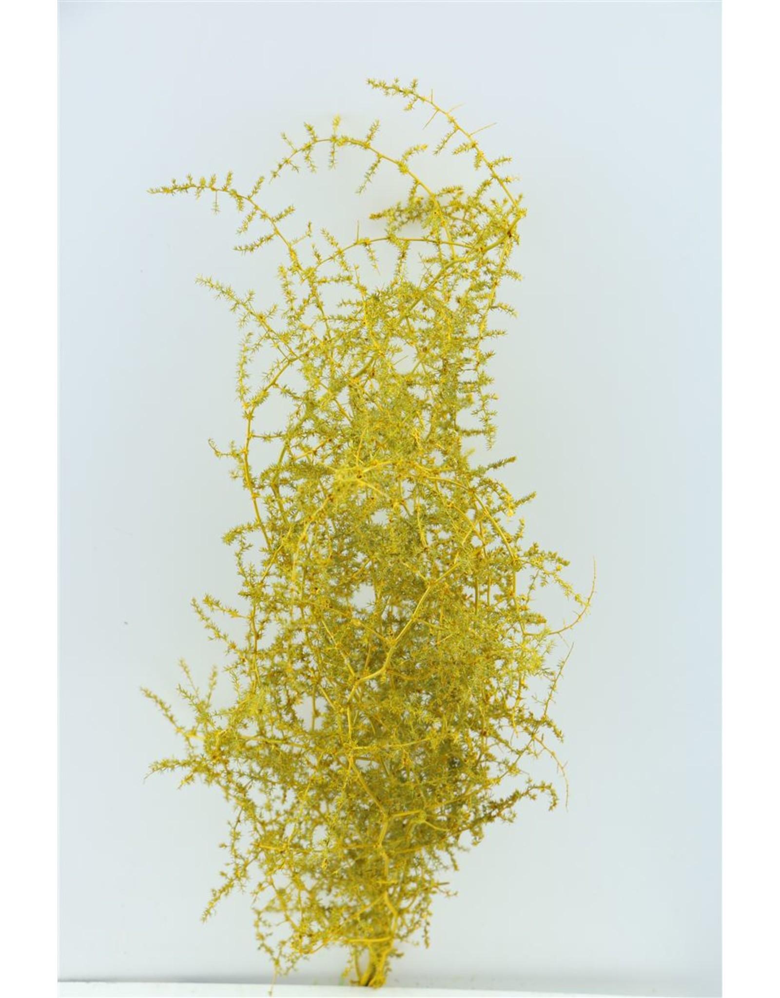 Dried Asparagus Wild L. Yellow Bunch x 2