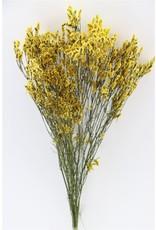Dried Lim. Diamond Yellow Bunch x 5