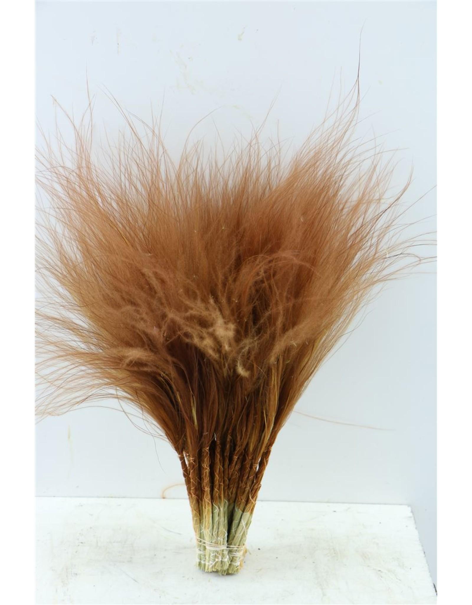 Dried Stypha Penata Bruin Bunch x 5