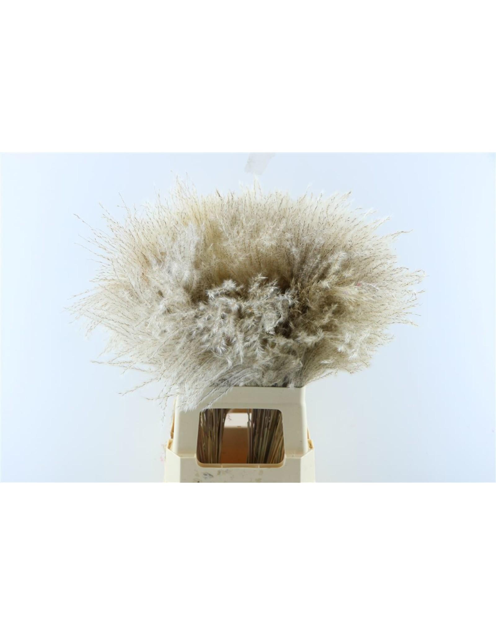 Dried Stipa Feather P Stem x 50