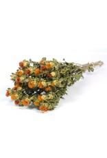 Bidens (carthamus) natural orange x 15