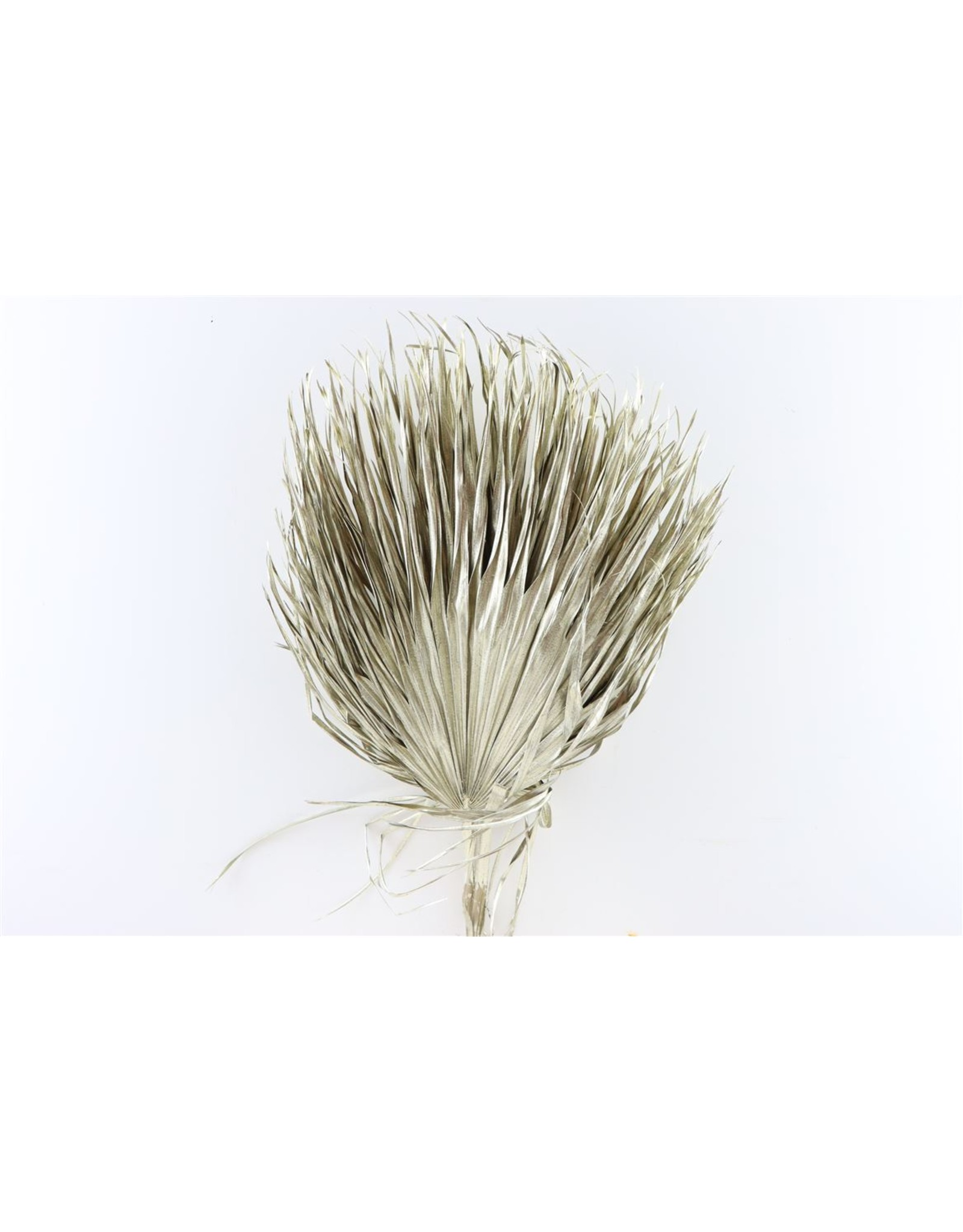 Dried Chamaerops (10tk) Metalic Platina Bunch x 1