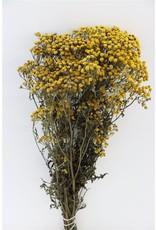 Dried Tanacetum Yellow x 2