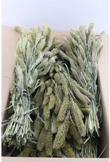 Dried Setaria Naturel x 1