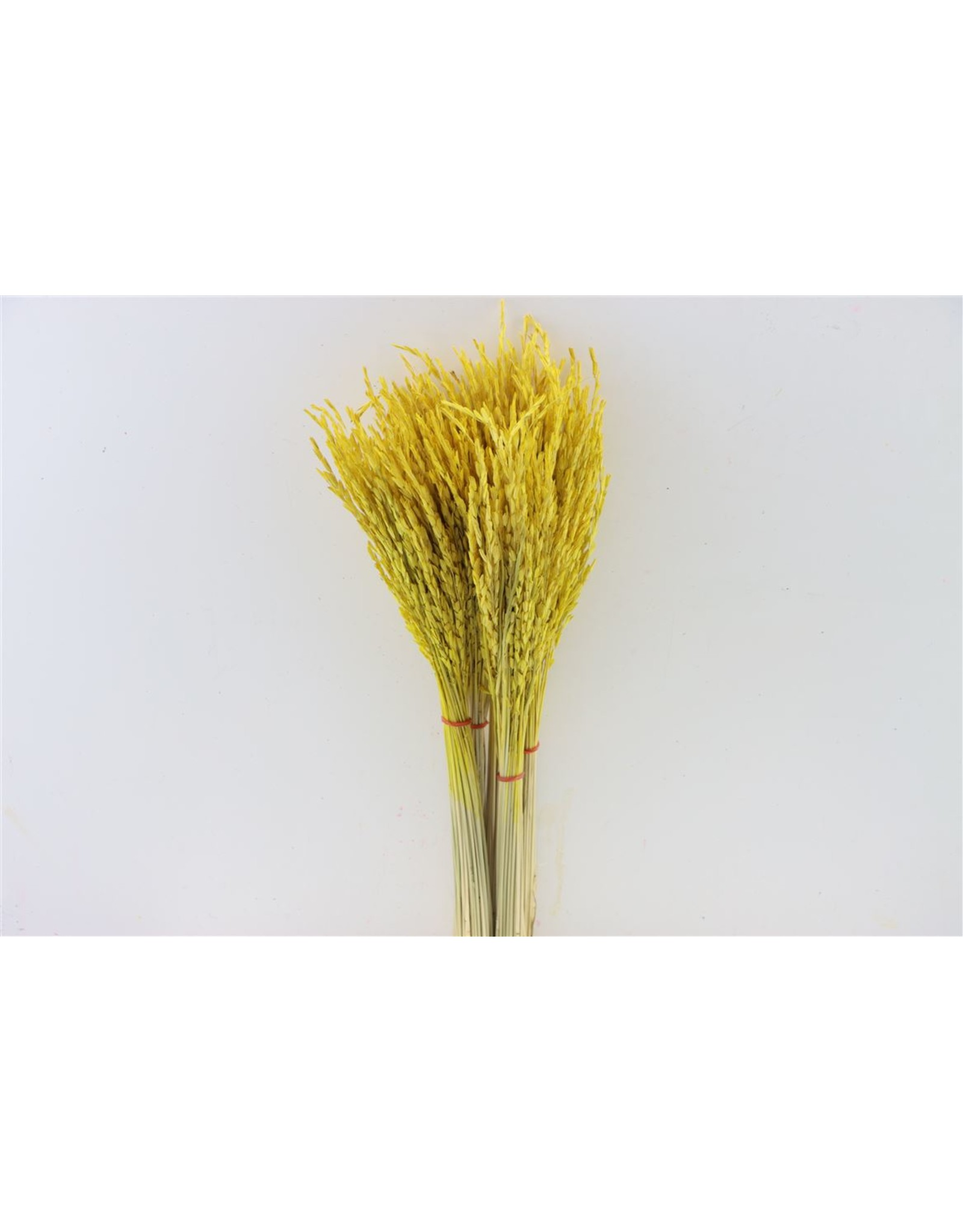 Dried Rice Oryza Yellow Bunch x 2