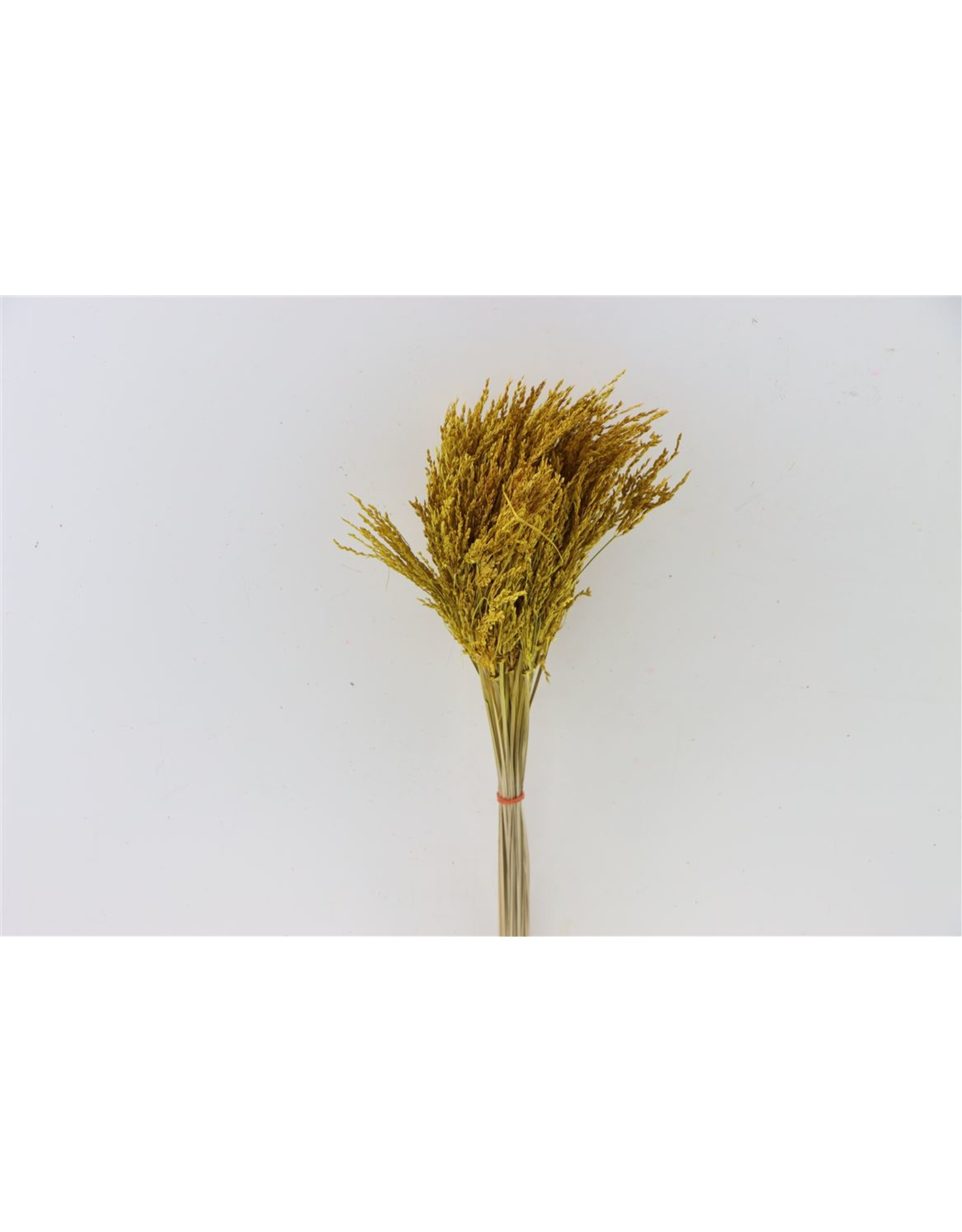 Dried Umbr. Sedge Sm. Leaf Yellow Bunch x 2