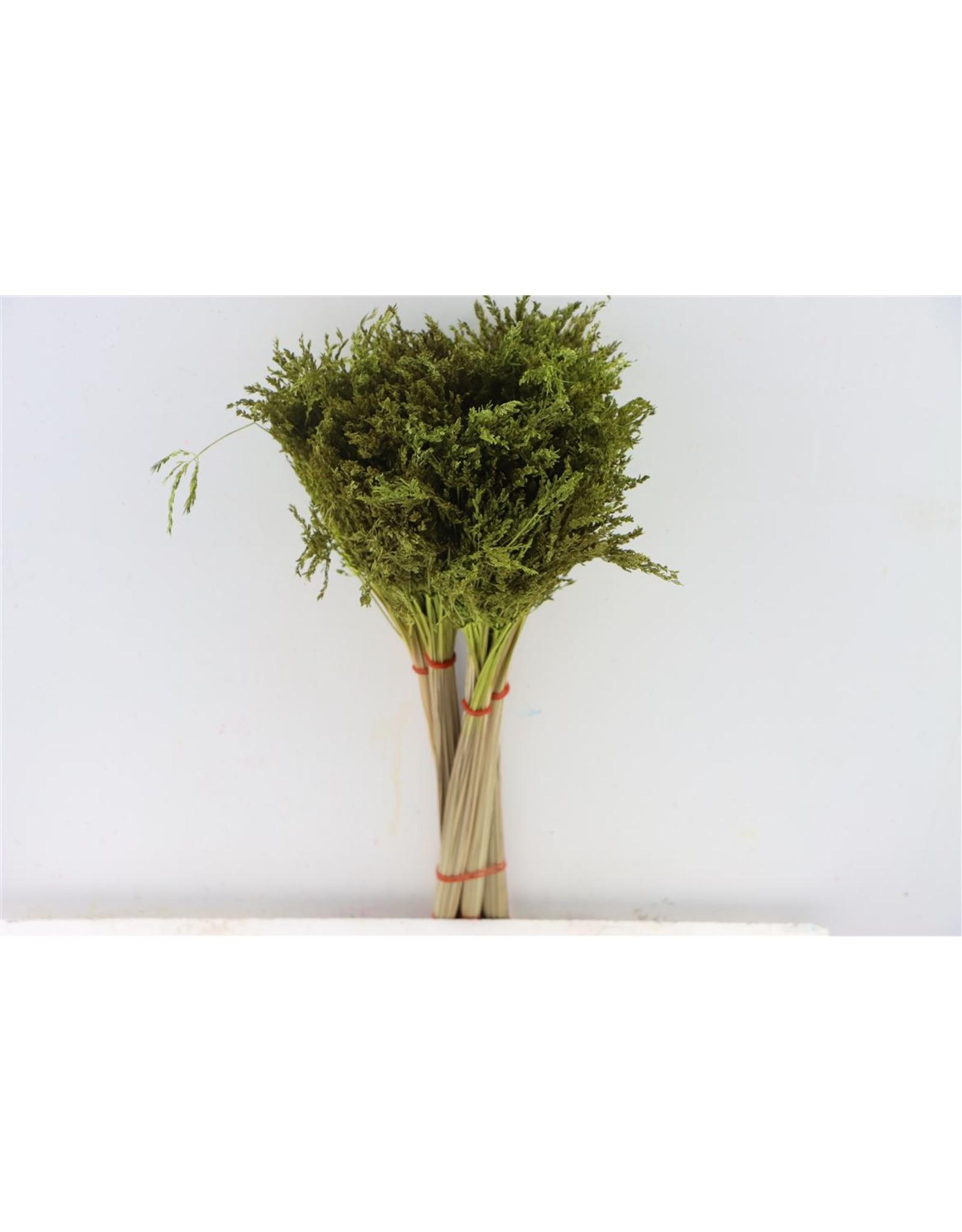Dried Umbr. Sedge Sm. Leaf Green Bunch x 2
