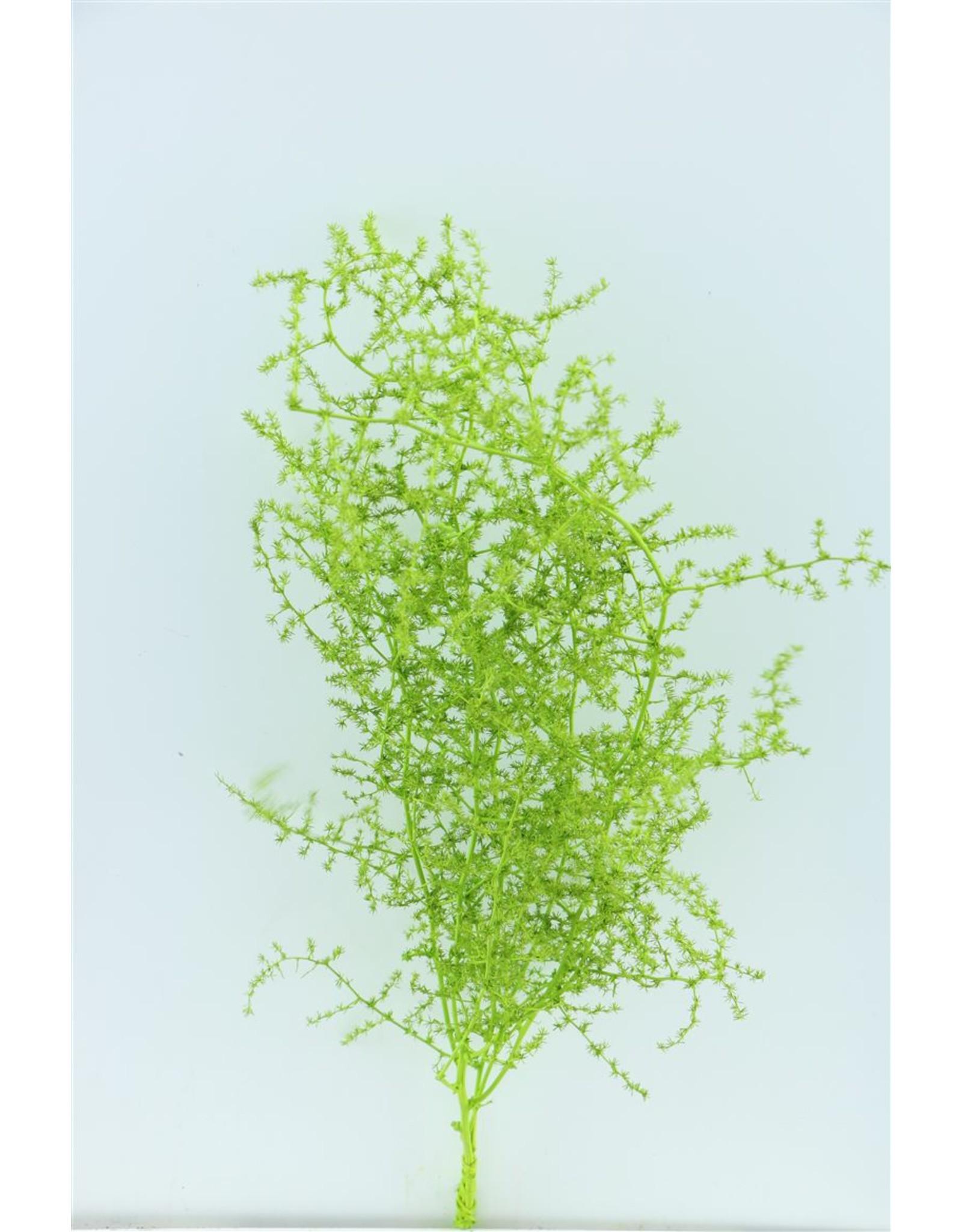 Dried Asparagus Wild Applegreen Bunch x 2