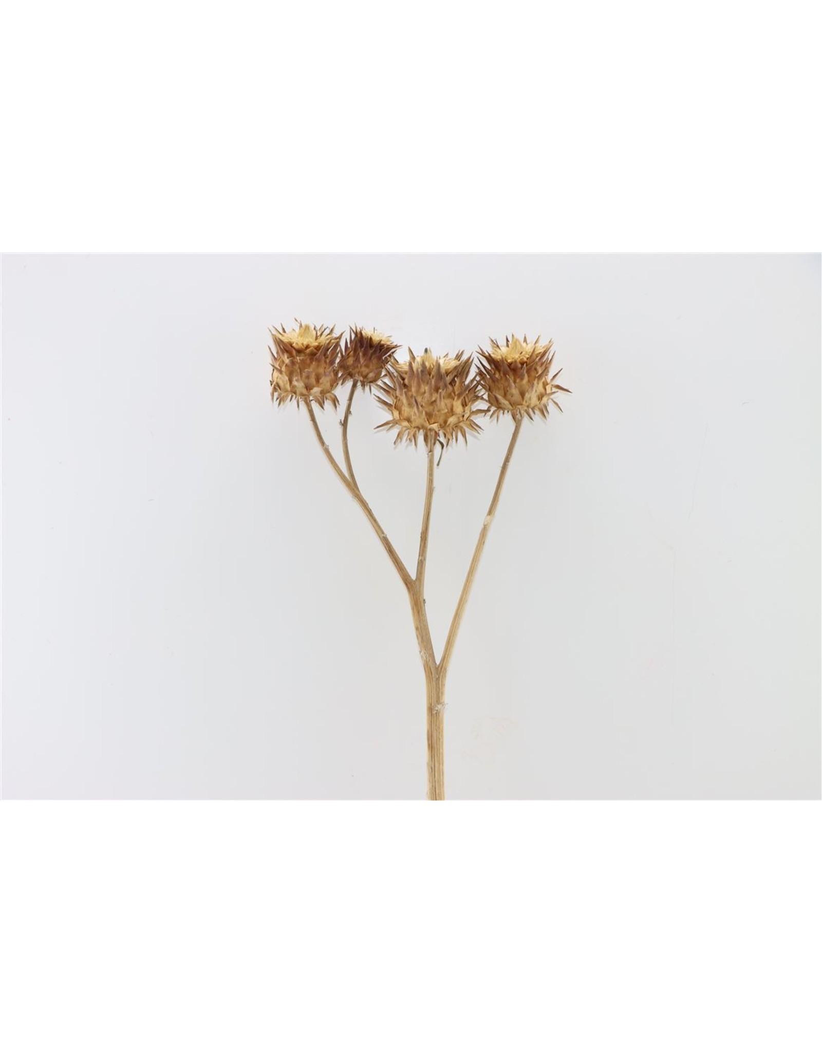 Dried Cynara Natural P. Stem x 5