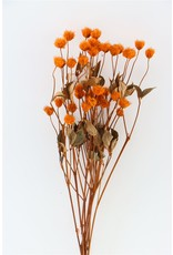 Dried Clematis Rome Seed Orange Bunch x 5