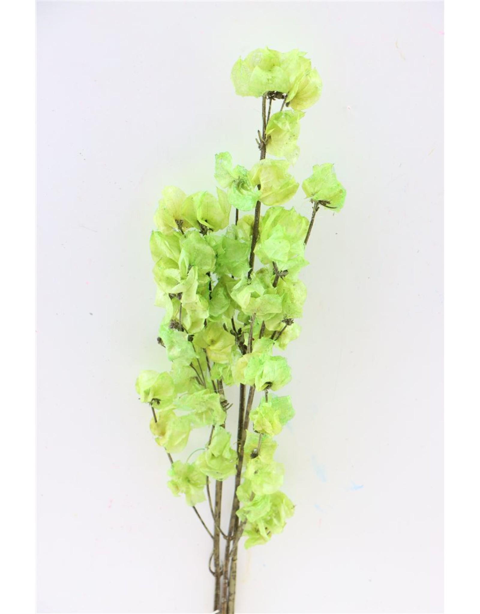 Dried Bougainvillea 45cm Apple Green Bunch x 5