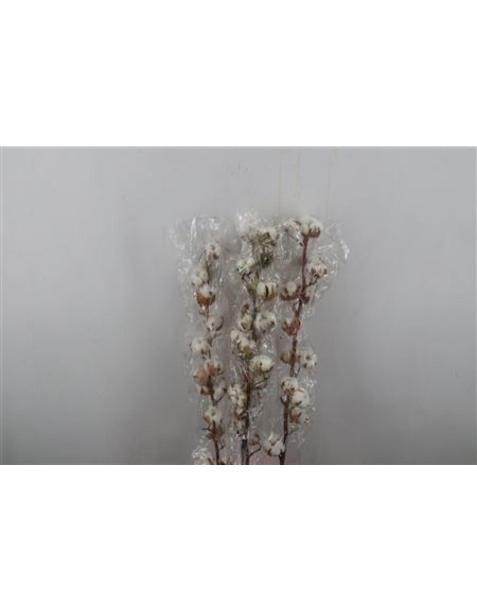 Dried Gossypium (katoen) 9 Bal x 5