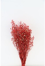 Dried Lep. Attraxa Red Bunch x 1
