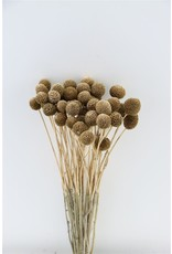 Dried Craspedia Ant.gold P. Stem x 50