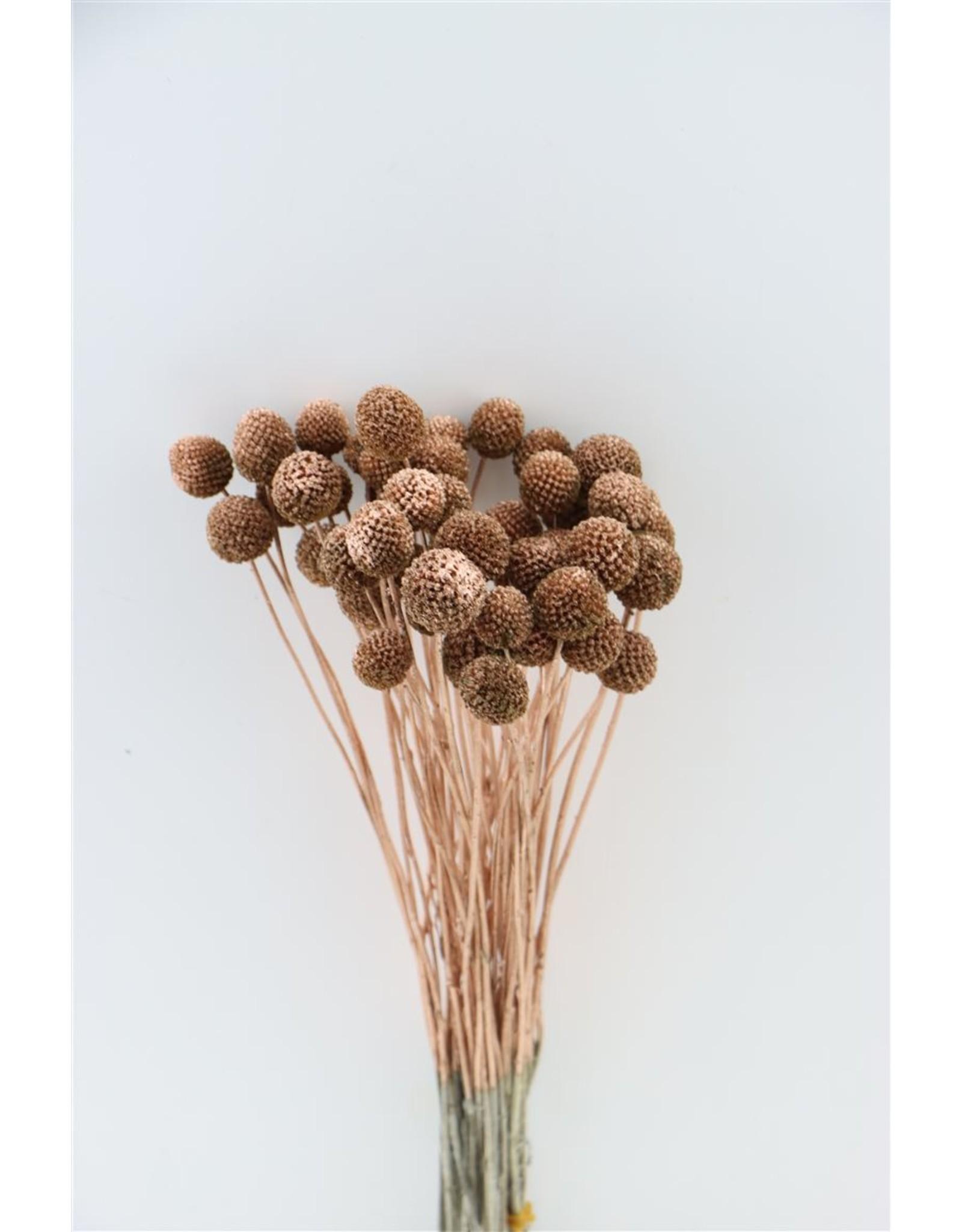 Dried Craspedia Copper P. Stem x 50