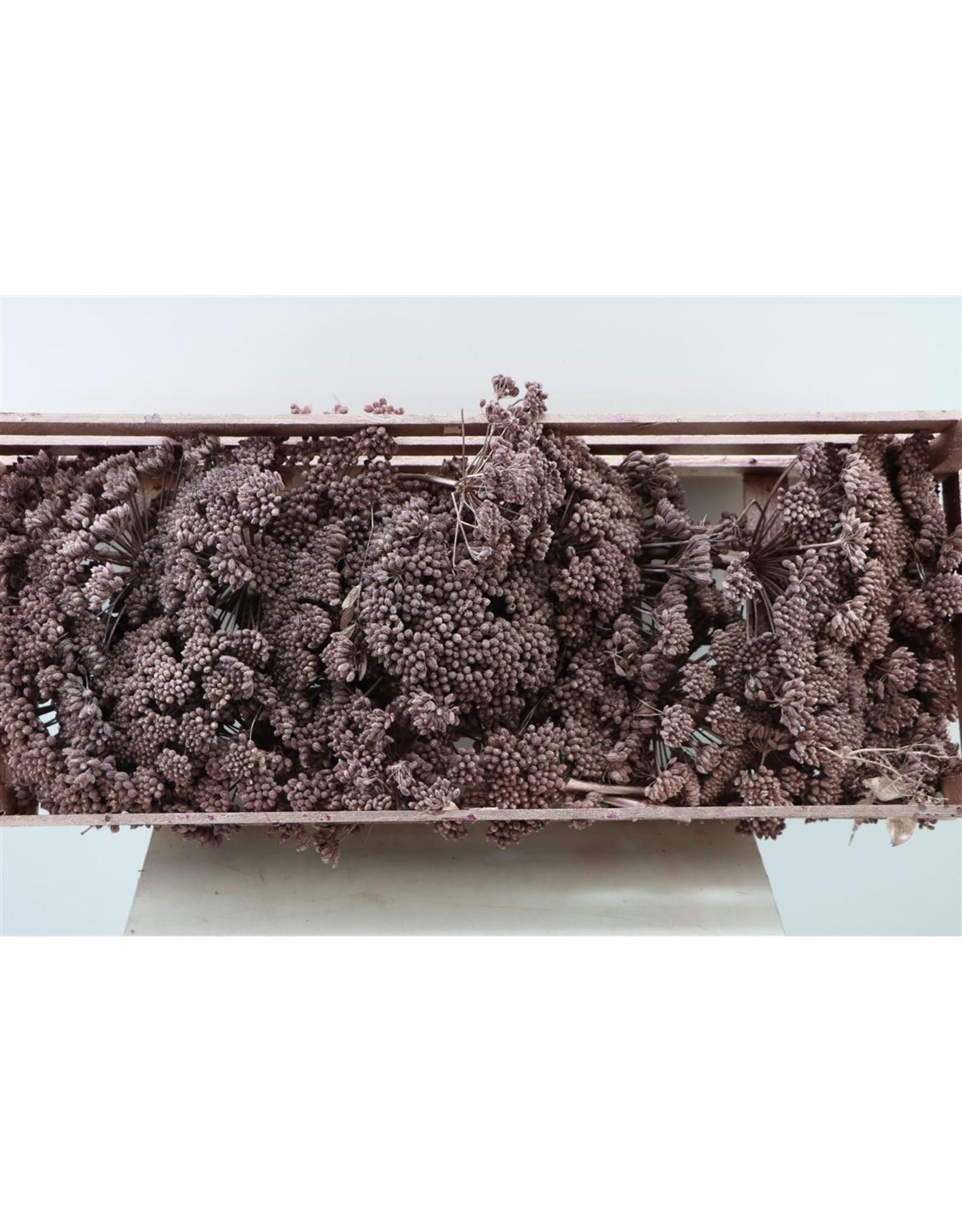 Dried Ferule Metallic Pink P. Box x 1