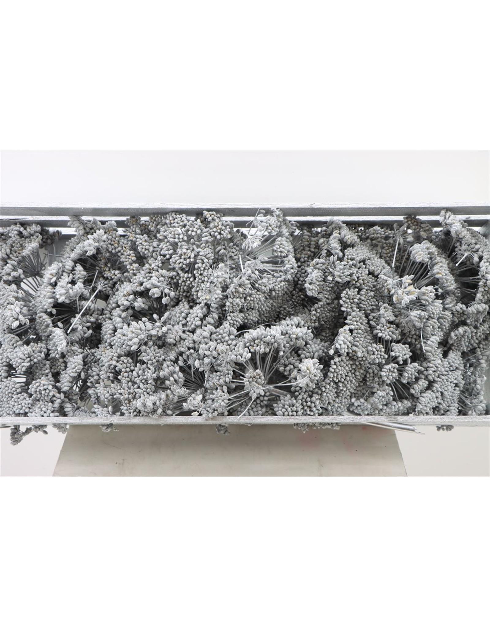 Dried Ferule Silver P. Box x 1