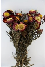 Dried Helichrysum Red Bunch x 1