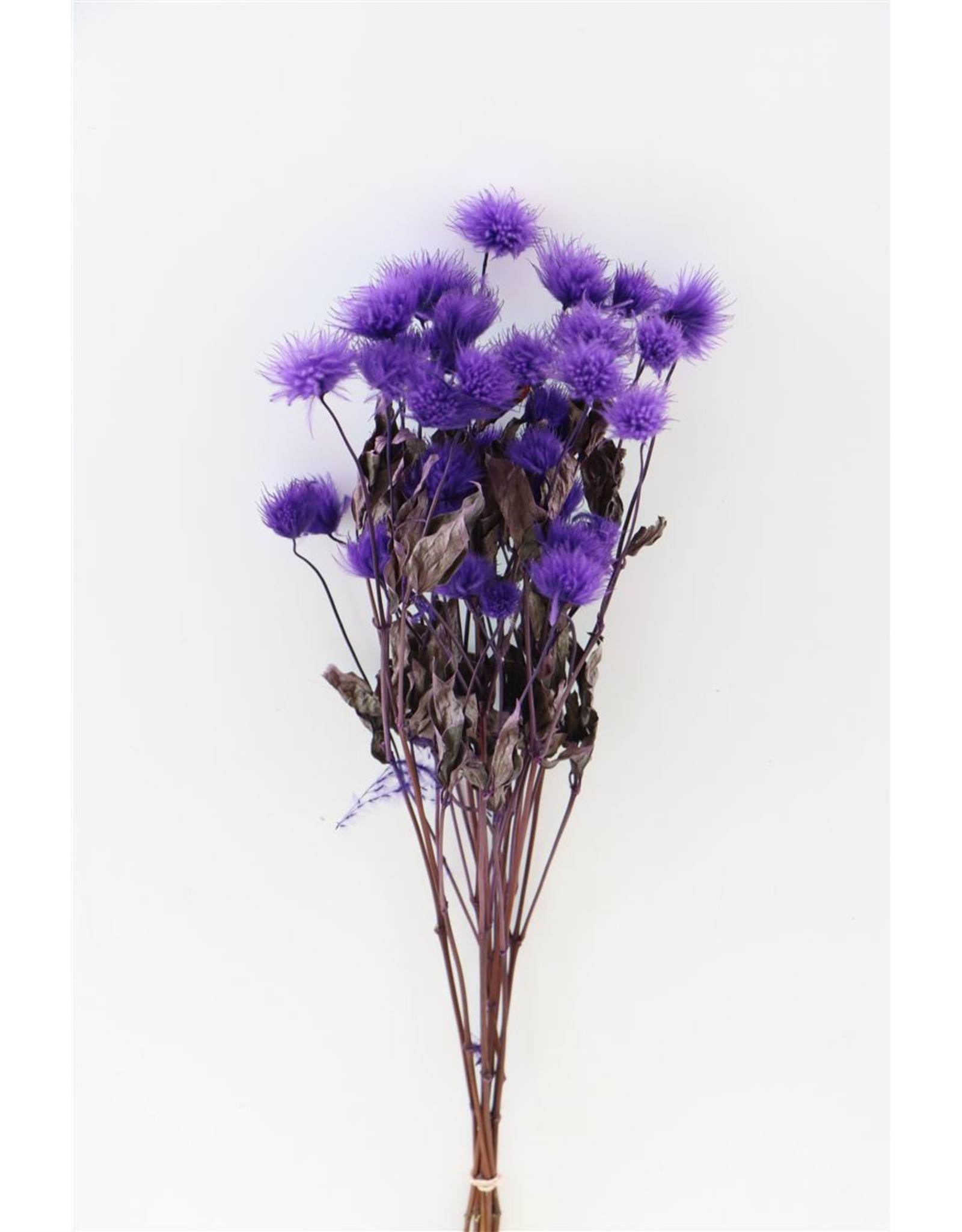 Dried Clematis Kibo Seed Purple Bunch x 5