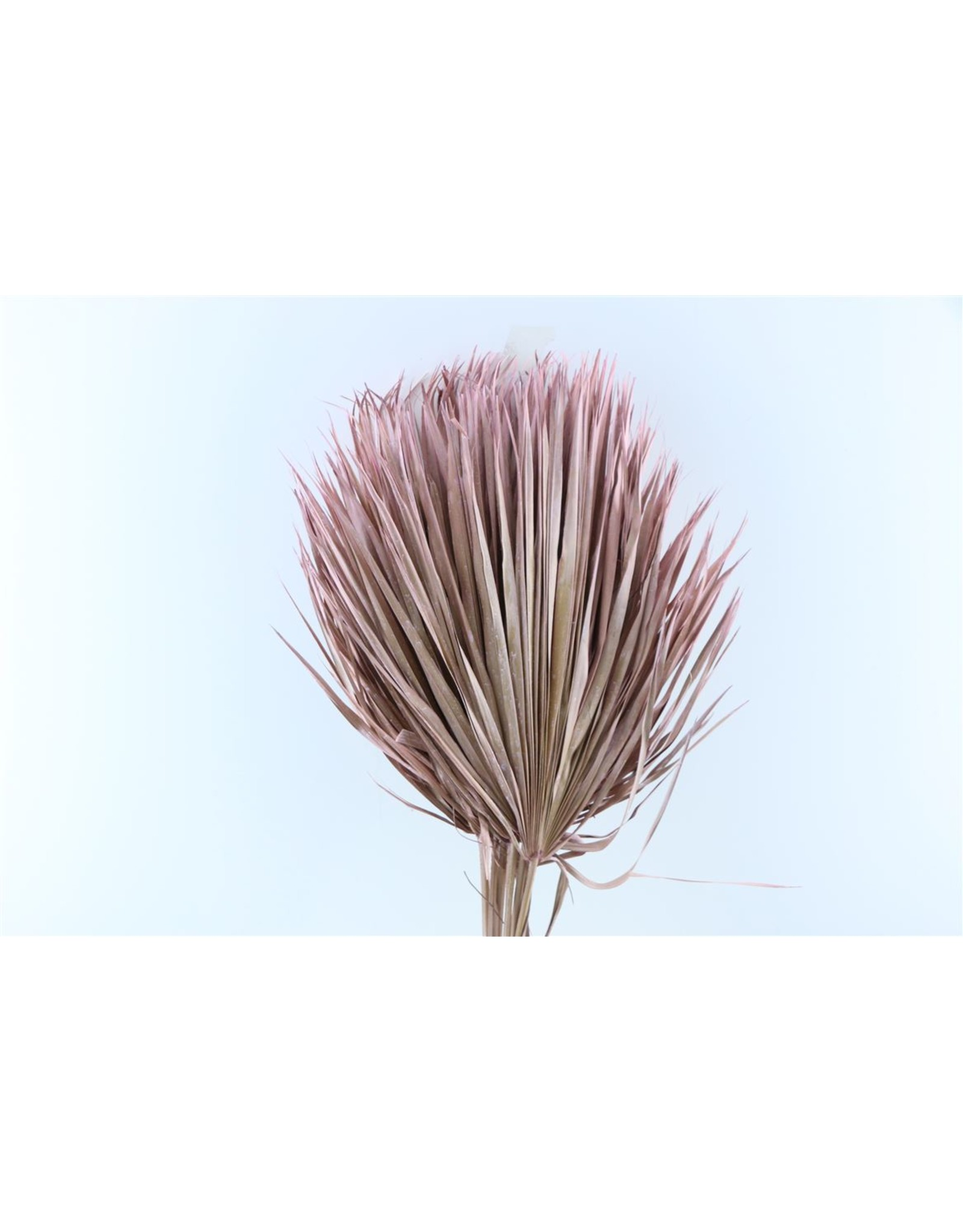 Dried Chamaerops (10tk) Frosted Pink Bunch x 1