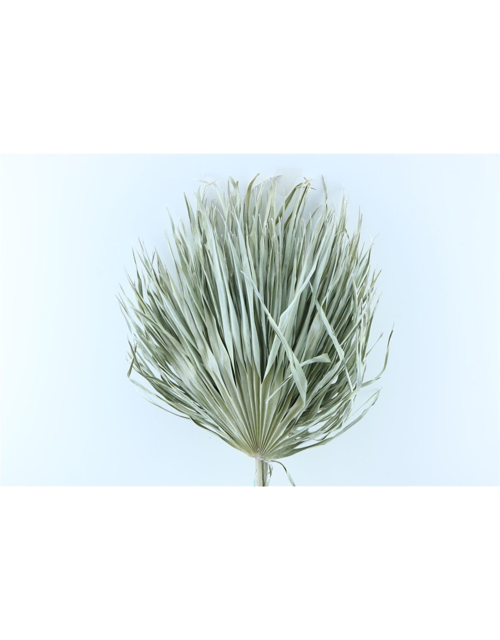 Dried Chamaerops (10tk) Frosted White Bunch x 1