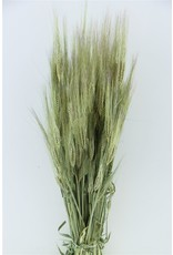 Dried Hordeum (gerst) Natural Bunch x 5