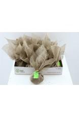 Dried Lavender Seed In Jute Bag 70g x 5